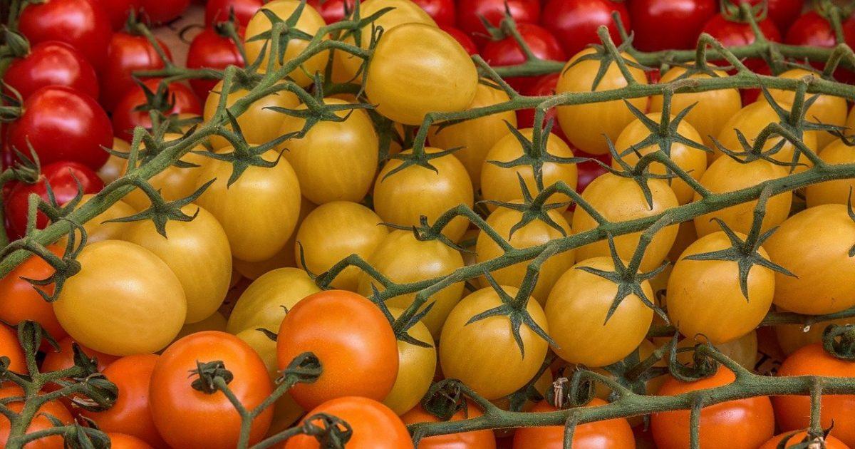 помидоры сорт северный